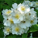 Wild Multiflora Roses