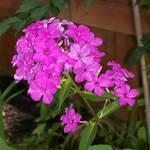 Wild purple flowers