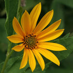 Wild Sunflower #1
