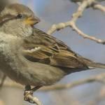 Brown Finch In Tree