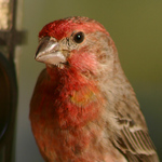 Finch Up Close And Personal