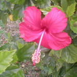 Wild Hibiscus