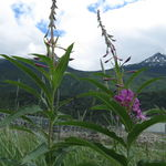 Wildflowers of Skagway