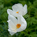 Prickly Poppy