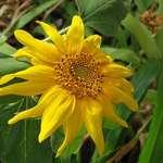 My Baby Sunflower