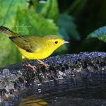 Wilson&#39;s Warbler 2008