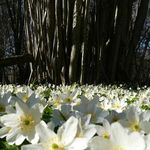 Wood anemone parade