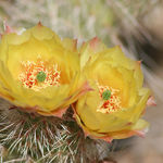 Yellow Cactus Blooms Up Close