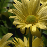 Yellow Daisey