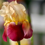 Yellow-Maroon Iris