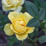 Yellow Miniture Rose