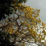 yellow tree...