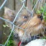 Neighbor's Yorkie