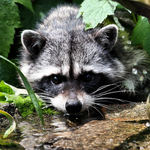 Young wild Raccoon drinking June 2008