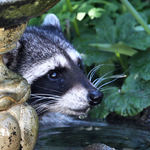 Young wild Raccoon, drinking