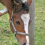 Horse thru Fence