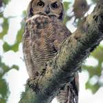 Young Great Horned Owl (wild)