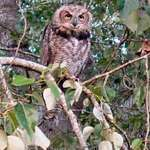 Owl - Young Great Horned Owl