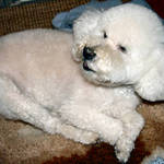 Bichon Frise, &quot;You were Saying?&quot;