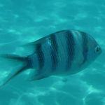 zebra fish