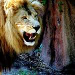 Lion Roar